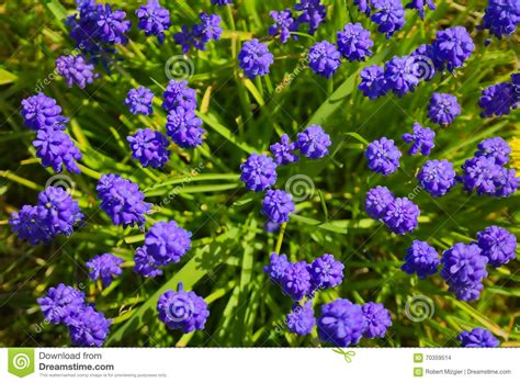 popular spring flowers muscari stock photo image 70359514