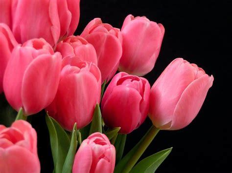 wallpaper pink tulip wallpaper tulip bouquet pink tulips tulipa