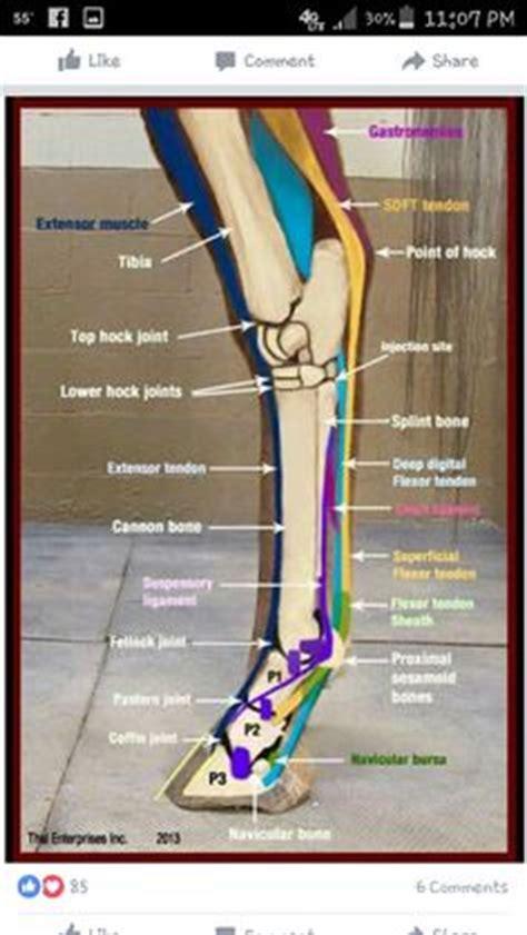 Equine Lower Limb Anatomy / karnet.info