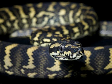 7 Techniques On Caring For A Python by Jungle Carpet Python Care Tips