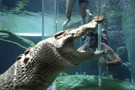 le holzstamm australian cage of taunts crocodiles with human food