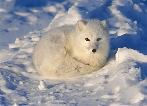 1000 Images About Arctic Animals - 1000 images about arctic fox on