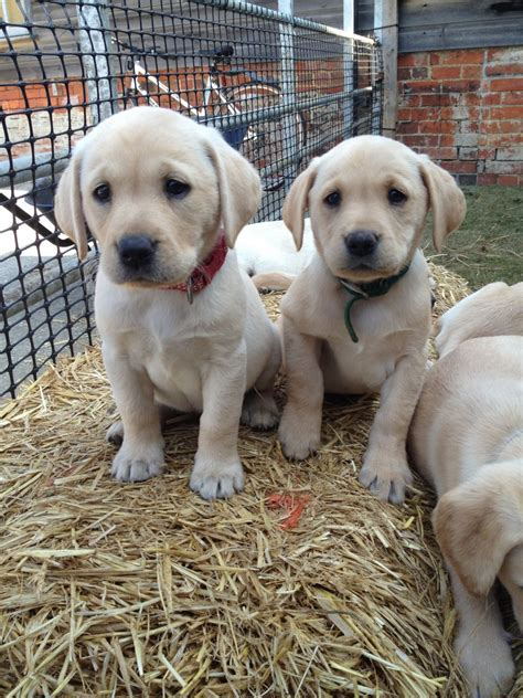 yellow labrador puppies for sale yellow labrador puppies for sale sherborne dorset pets4homes