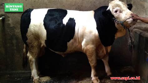 Jual Bibit Rumput Odot Bogor 3 kunci sukses penggemukan sapi potong bintang tani