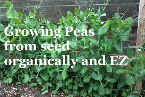 How to Grow Peas from Seed   Organic Vegetable Gardening