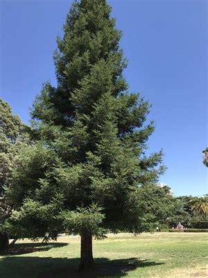 sequoia sempervirens sacramento, ca sequoioideae trees