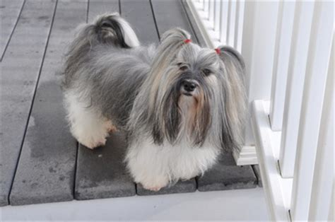 havanese blowing coat grooming havanese you can t just one