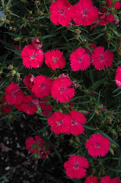ideal select rose pinks dianthus ideal select rose