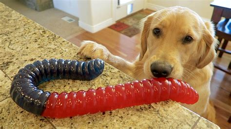 largest golden retriever eats world s largest gummy worm golden retriever puppy playtime vlog