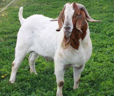 Kambing Kurban j j boer goats bucks
