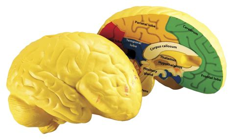 cross section human brain human brain cross section model frey scientific cpo