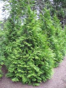 evergreen trees shrubs a guide to landscape design