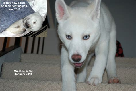 husky puppy rescue ayla the puppy ara canine rescue inc a siberian husky rescue and adoption