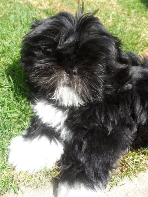 black shih tzu puppy shih tzu puppies last black boy bradford west pets4homes
