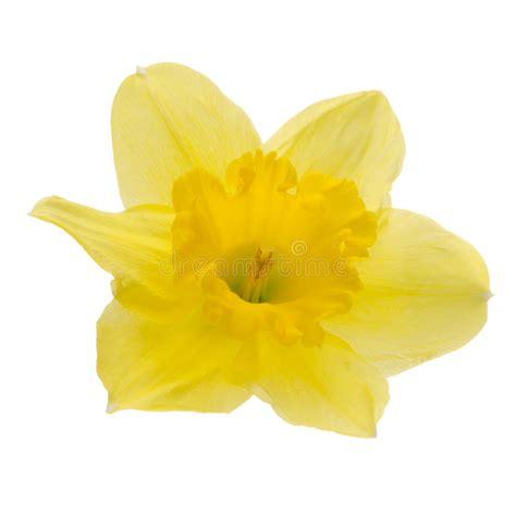 fiore della bellezza fiore della giunchiglia immagine stock immagine di