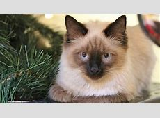 Balinese Cats Liver Failure In Dogs Causes For