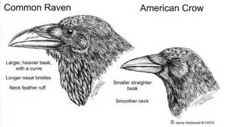 Difference Between Raven And Crow Beak Sketch Coloring Page sketch template