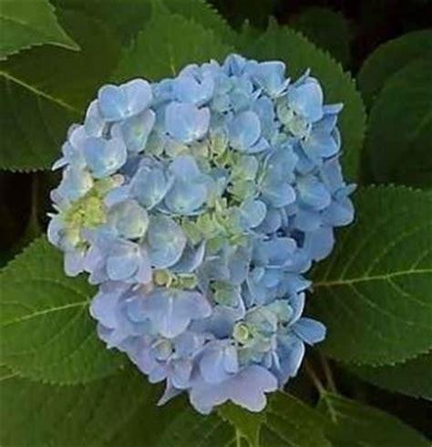 fiore ortensia ortensia hidrangea hidrangea piante da giardino