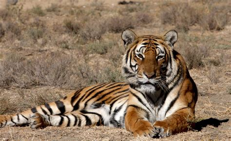sa s tigers going home to china oxpeckers