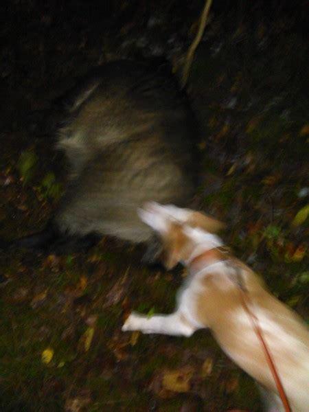 sau decken beagle news dr barbara rudorf stever beaglezucht