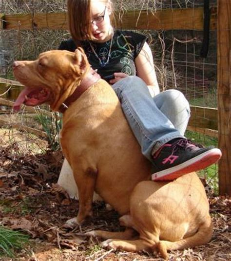 massive pit bulls pictures to pin on pinterest pinsdaddy