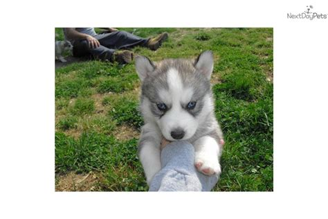 husky puppies nj husky rescue puppies siberian husky puppies in pa white