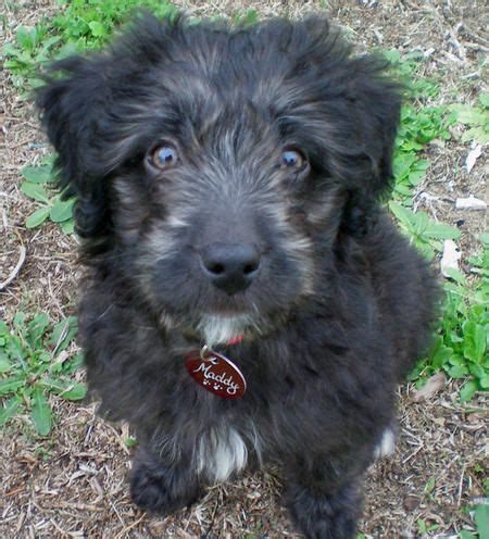 border doodle puppies for sale australia 203 best images about dogs on poodles puppys
