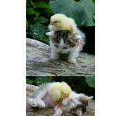 So Cute  Baby Chick And Kitten Cuddling Gracie Lu Shih Tzu