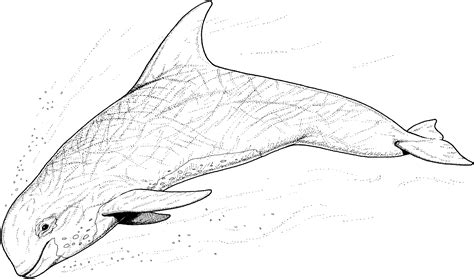 pin sperm whale coloring page pages on pinterest