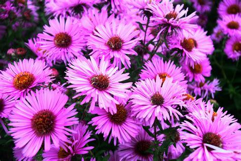 margherita fiore descrizione immagini natura petalo fioritura margherita