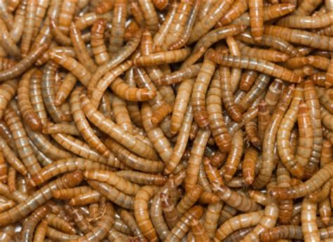 buy mealworms reptile centre