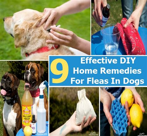 top 9 easy and effective diy home remedies for fleas in