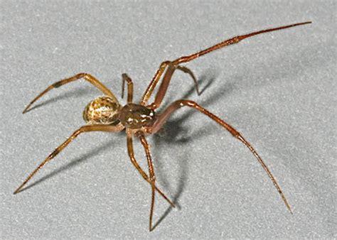 california house spiders common house spider parasteatoda tepidariorum