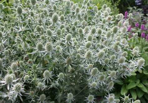 sea holly umass amherst greenhouse crops and