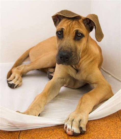 great dane puppy cost best 25 great dane names ideas on great dane breed great dane size and