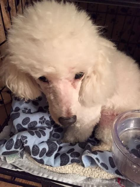 rescue ct 25 best ideas about poodle rescue on poodle cuts poodles and poodle grooming