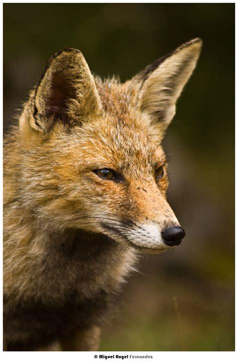 imagenes en movimiento de zorros zorros zorros