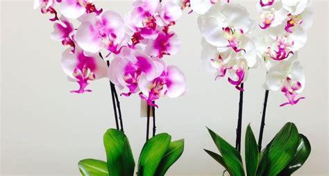 orchidee in casa orchidee in casa orchidee orchidee da coltivare in casa