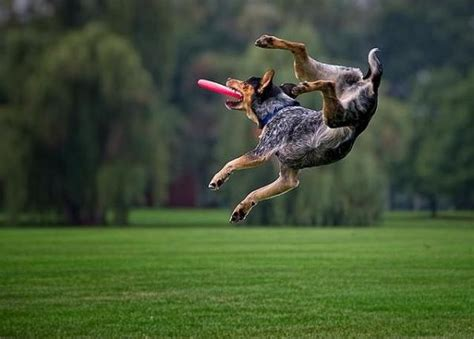 catching frisbee pics of flying dogs catching frisbees freeyork