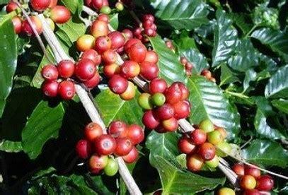 jual bibit kopi jual bibit tanaman