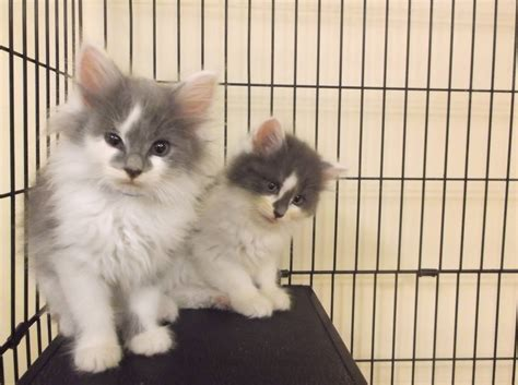 where can i adopt a 30 beautiful where can i adopt a kitten near me kittens wallpapers