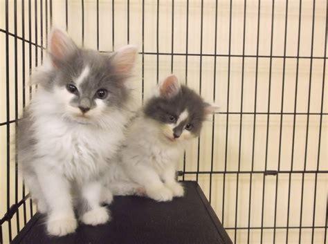 where can i adopt a near me 30 beautiful where can i adopt a kitten near me kittens wallpapers