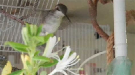 how to raise a baby hummingbird part 5 of 6 youtube