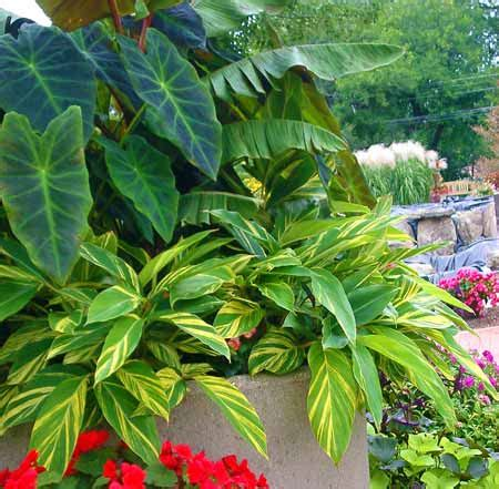 sun tropical plants impatiens downy mildew a curse and opportunity for your