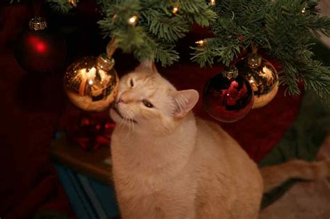 protect christmas tree from cat it s time is your tree ready with cats