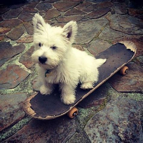 west highland puppies 25 best ideas about west highland terrier on westies westie puppies and