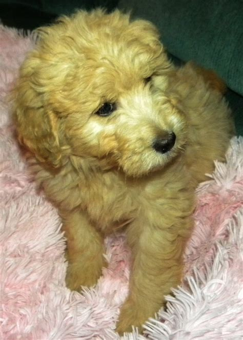 puppies in washington free goldendoodles washington state breeds picture
