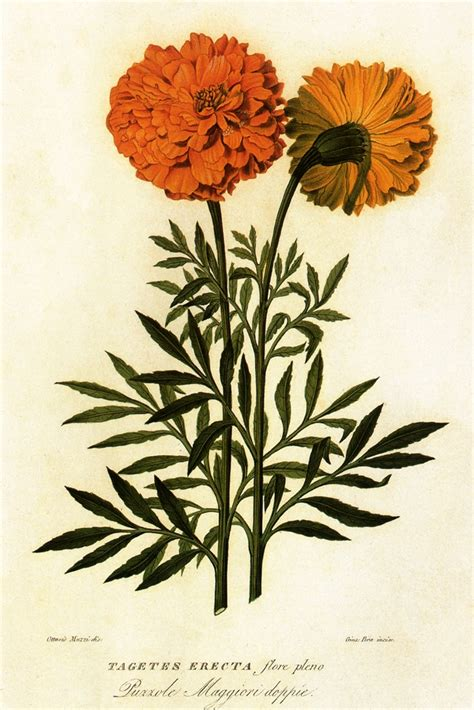 calendula tattoo designs the 25 best erecta ideas on duranta tagetes