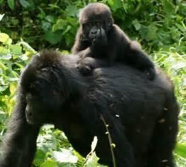 gorillas pictures for file gorillas in uganda 3 by fiver l 246 cker jpg wikimedia