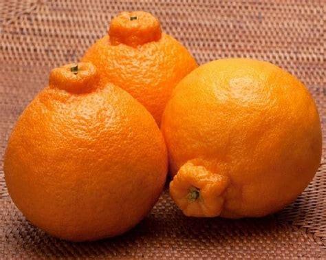 Jual Bibit Jeruk Bonsai jual bibit unggul tanaman jeruk dekopon bibit